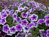Mound of Petunias