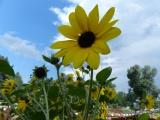 Sunflower at the Trial Garden