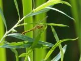Cheyenne Dragonfly