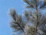 Ice-Tipped Evergreen Needles