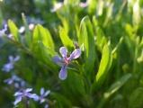 Little Purple Flowers of Spring