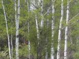 Spring Birch at Victor Crossing