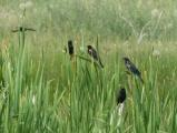 Gathering of Blackbirds