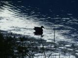 Silhouette of Duck at Dusk