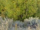 Willow above Sagebrush