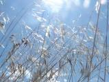 Sunlight through Grasses