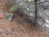 Pine Needled Slope