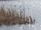Wedge of Cattails
