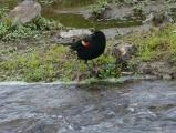 Red-Winged Blackbird at the Water