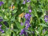 Butterfly on Alfalfa