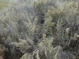 Sprays of Sagebrush