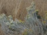 Silvery Sagebrush Twigs