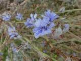 Frozen Chicory