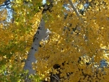 Fluttering Yellow Leaves