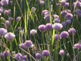 Field of Chives
