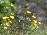 Buttercups and Grasses