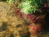 Ripples among Aquatic Plants