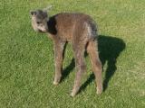 Rose Grey Baby Alpaca