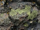 Patchwork of Lichens